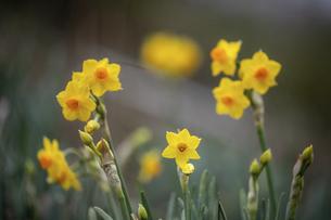 水仙の花(黄色)の写真素材 [FYI04843813]