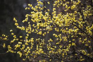 ロウバイの花の写真素材 [FYI04843816]