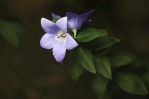 山野草・キキョウの花の写真素材 [FYI04843820]