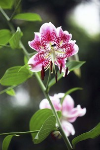 雨上りに咲くカノコユリの花の写真素材 [FYI04843834]
