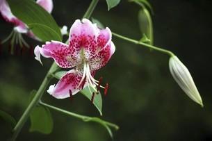 雨上りに咲くカノコユリの花の写真素材 [FYI04843836]