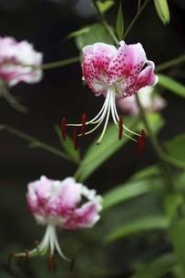 雨上りに咲くカノコユリの花の写真素材 [FYI04843837]