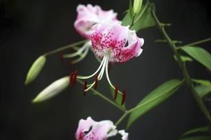 雨上りに咲くカノコユリの花の写真素材 [FYI04843838]