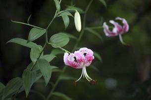 小雨に咲くカノコユリの花の写真素材 [FYI04843839]