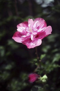 ムクゲ・濃紅色の花の写真素材 [FYI04843843]
