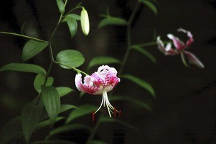 小雨に咲くカノコユリの花の写真素材 [FYI04843844]