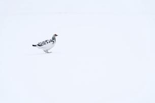 立山に生息するオス雷鳥の写真素材 [FYI04843853]