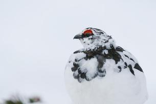立山に生息するオス雷鳥の写真素材 [FYI04843855]