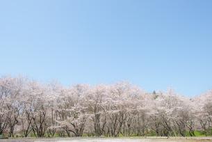安芸ダム公園の桜の写真素材 [FYI04844161]