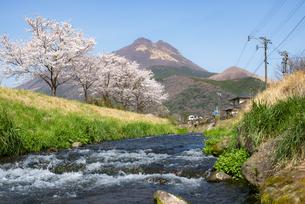 由布岳と桜の写真素材 [FYI04844178]