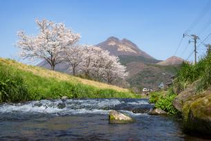 由布岳と桜の写真素材 [FYI04844180]