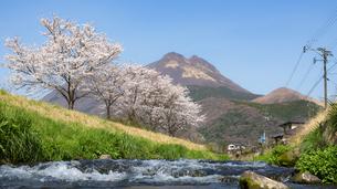 由布岳と桜の写真素材 [FYI04844181]