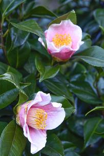 白い縁取りのあるピンク色のツバキの花(ツバキ科ツバキ属の常緑樹)と葉の写真素材 [FYI04844238]