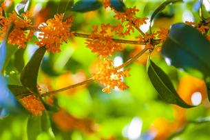 キンモクセイの花の写真素材 [FYI04844330]