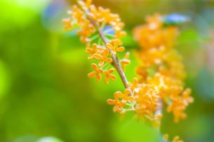 キンモクセイの花の写真素材 [FYI04844334]