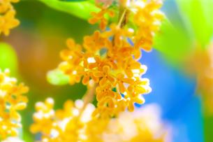 キンモクセイの花の写真素材 [FYI04844335]