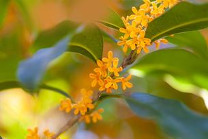 キンモクセイの花の写真素材 [FYI04844336]