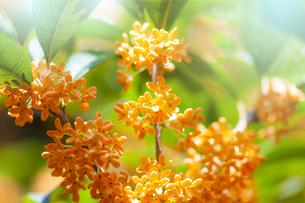 キンモクセイの花の写真素材 [FYI04844337]