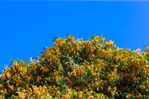 キンモクセイの花と青空の写真素材 [FYI04844339]