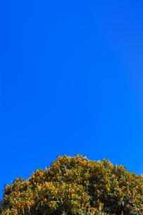 キンモクセイの花と青空の写真素材 [FYI04844340]