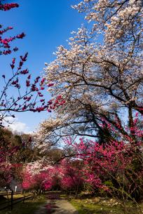 神戸駅花桃と桜並木の写真素材 [FYI04844362]