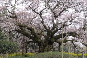 印西市吉高大桜の写真素材 [FYI04844370]
