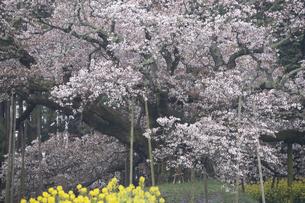 印西吉高の大桜の写真素材 [FYI04844371]