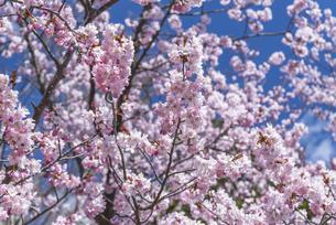 札幌の満開の桜の写真素材 [FYI04844462]