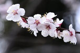 満開に咲いたウメ(バラ科サクラ属の落葉高木)の花と枝の写真素材 [FYI04844489]
