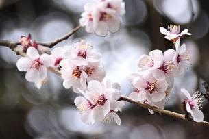 満開に咲いたウメ(バラ科サクラ属の落葉高木)の花と枝の写真素材 [FYI04844490]
