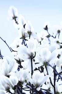 白モクレン(モクレン目モクレン科モクレン属の落葉低木)の花と枝の写真素材 [FYI04844494]