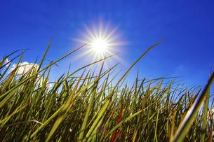【自然風景】太陽がまぶしい初夏の青空の下の草原の様子 ローアングルの写真素材 [FYI04844582]