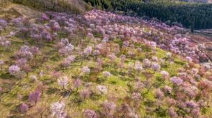 満開の桜峠の写真素材 [FYI04844592]