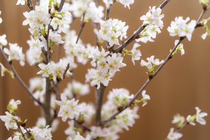桜の写真素材 [FYI04844734]