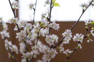 桜の写真素材 [FYI04844735]