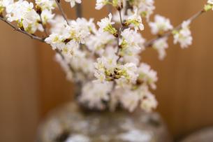 桜の写真素材 [FYI04844736]
