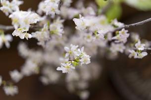 桜の写真素材 [FYI04844741]