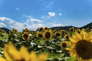 佐用町 青空とひまわり畑の写真素材 [FYI04844851]