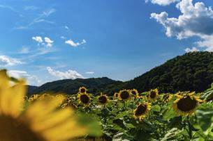 佐用町 青空とひまわり畑の写真素材 [FYI04844855]