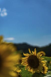 佐用町 青空とひまわり畑の写真素材 [FYI04844860]