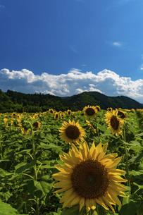 佐用町 青空とひまわり畑の写真素材 [FYI04844869]