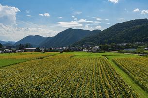 佐用町 青空とひまわり畑の写真素材 [FYI04844876]