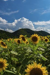 佐用町 青空とひまわり畑の写真素材 [FYI04844878]