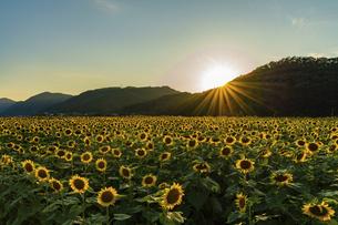 佐用町 夕暮れのひまわり畑の写真素材 [FYI04844924]