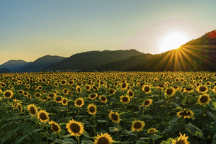 佐用町 夕暮れのひまわり畑の写真素材 [FYI04844925]