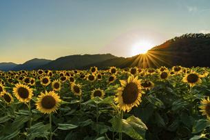 佐用町 夕暮れのひまわり畑の写真素材 [FYI04844927]