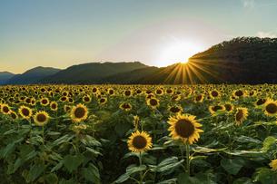 佐用町 夕暮れのひまわり畑の写真素材 [FYI04844929]