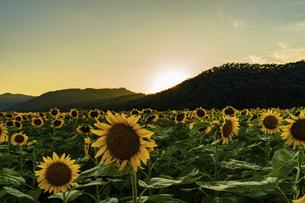 佐用町 夕暮れのひまわり畑の写真素材 [FYI04844930]