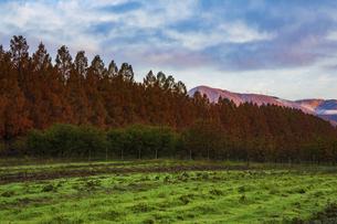 紅葉の季節のメタセコイア並木の写真素材 [FYI04845028]