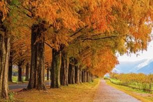 紅葉の季節のメタセコイア並木の写真素材 [FYI04845029]